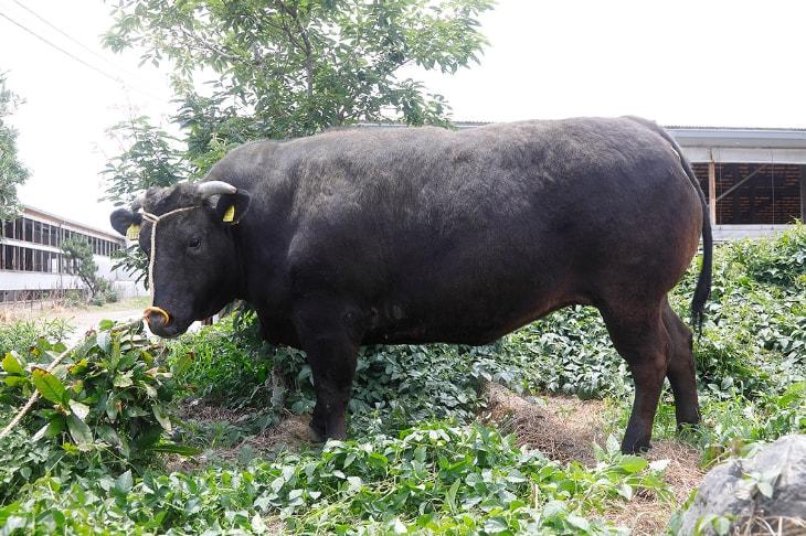 近江亀井牛の立ち姿
